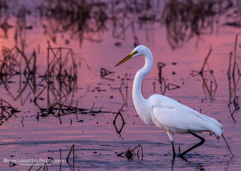 Egret at Blackwater Wildlife Refuge_Bryan Lemasters